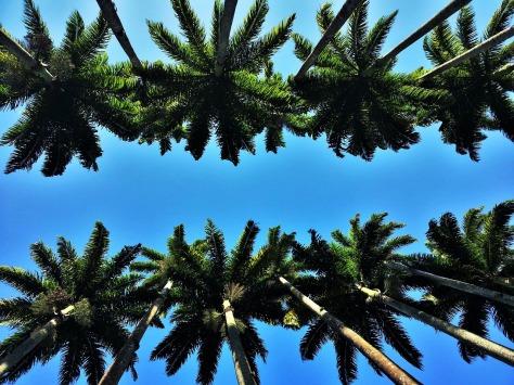palmeiras imperiais